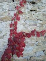 Une branche de vigne grimpante sur un mur de l'église de Fixin