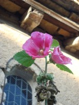 La dernière rose trémière sur le mur de façade de l'église romane de Fixin