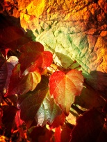 vigne vierge au soleil couchant