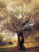 Un des oliviers de la dernière oliveraie de provence. Des arbres très souvent centenaire