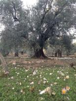 1 des centenaires de l'oliveraie qui en compte 160.