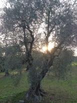 1 éclat de soleil au profit des olives