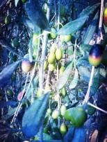 grappe d'olives